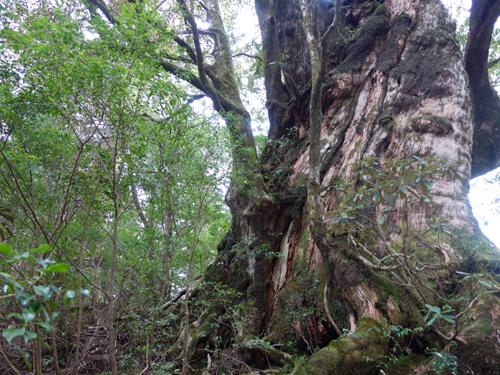 まさに巨樹の風格